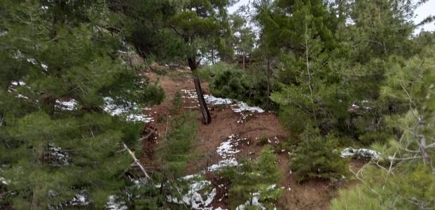 Kar, çam ağaçlarını yerinden söktü