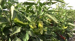KMBB'nin tarımsal üretime desteği meyvelerini vermeye başladı